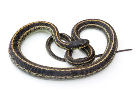 흰색 배경에 동부가 터 훈장이나 뱀을 (Thamnophis sirtalis)