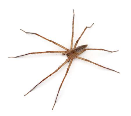 nursery web spider: Nursery Web Spider (Pisaurina mira) on a white background Stock Photo