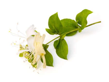 Caprifoglio fiore (Lonicera japonica) su sfondo bianco Archivio Fotografico - 9557418