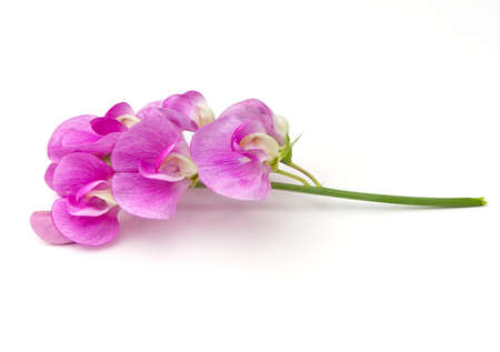 Sweet Pea (Lathyrus odoratus) blossoms on a white background Stok Fotoğraf