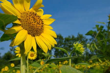 helianthus annuus: Sunflower (Helianthus annuus) facing the sun in a field Stock Photo