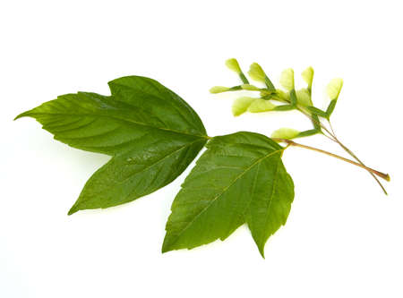 acer: Box Elder (Acer negundo) leaves and seeds on white background