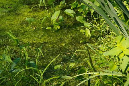 개구리와 오리 잡초 (Lemnaoideae)와 연못 스톡 콘텐츠