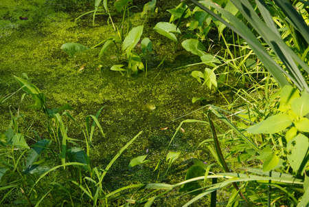 Pond with frog and Duck Weed (Lemnaoideae) photo