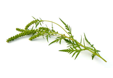 branched: Common Ragweed (Ambrosia artemisiifolia) on a white background Stock Photo