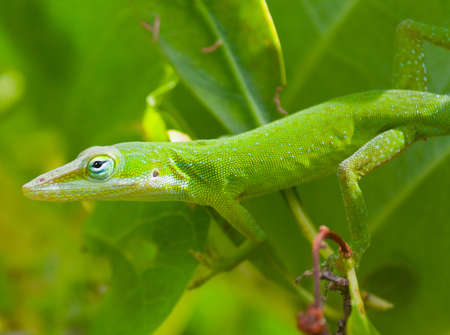 carolinensis: Green Anole (Anolis carolinensis) in a natural environment