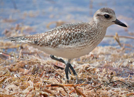 Black-bellied Plover (Pluvialis squatarola) hunting for food
