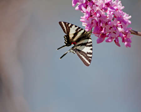 Zebra Swallowtail (Protographium marcellus) on Eastern Redbud (Cercis canadensis) photo