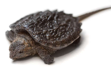 snapping turtle: Common Snapping Turtle hatchling (Chelydra serpentina) on a white background
