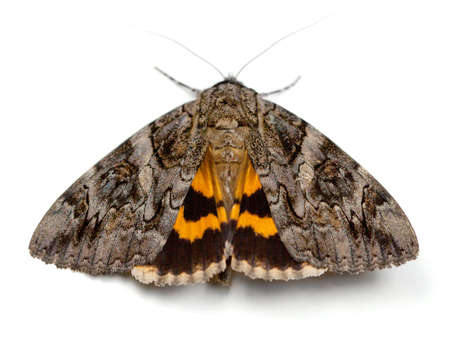 drab: The Penitent Underwing Moth (Catocala piatrix) on a white background Stock Photo