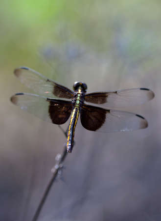 Widow Skimmer Dragonfly (Libellula luctuosa) on a blurred background for notecard photo