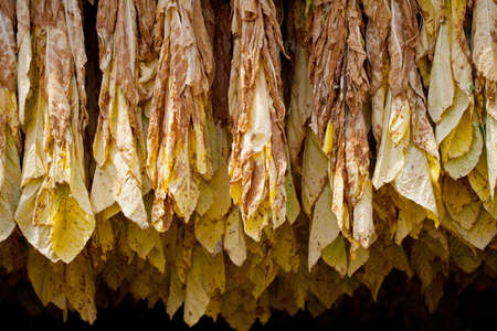 tobacco plant: Row of tobacco leaves curing in a barn Stock Photo