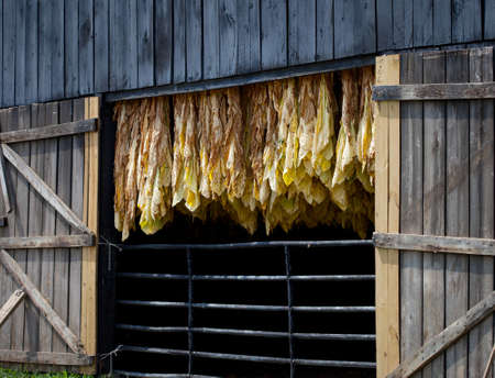 tobacco plants: Row of tobacco leaves curing in a barn Stock Photo