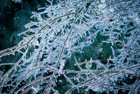 frigid: Tree branches coated in ice from ice storm