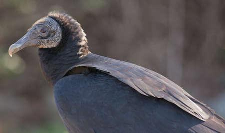 buzzard: Close-up of a Black Vulture (Coragyps atratus) Stock Photo