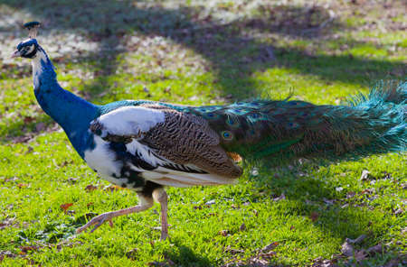 blue peafowl: Side view of pied Peacock (Pavo) walking in grass