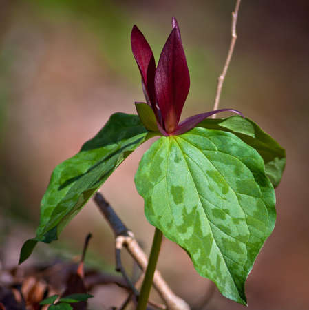 great smoky mountains: Close-up of Red Trillium (Trillium sessile) Toadshade