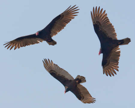 the aura: Turkey Vultures (Cathartes aura) circling in a blue sky