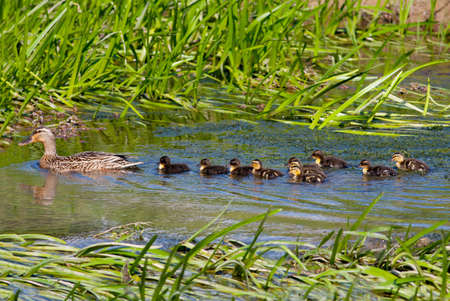 Female Mallard (Anas platyrhynchos) with ten ducklings swimming in a stream photo