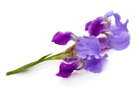 Iris blooms (Iridaceae) on a white background Фото со стока - 19089981
