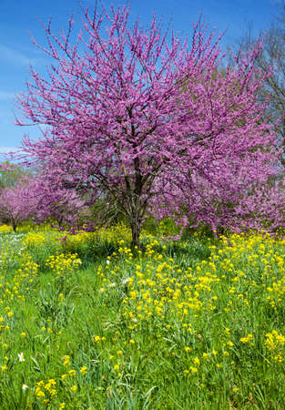 redbud: Eastern Redbud Tree (Cercis canadensis) with Wild Mustard (Brassicaceae)