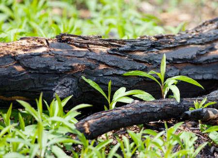 forest fire: Downed quemado �rbol como resultado de un incendio forestal