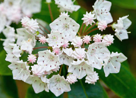 laurel mountain: Close-up of Mountain Laurel (Kalmia latifolia) Great Smoky Mountains National Park Stock Photo