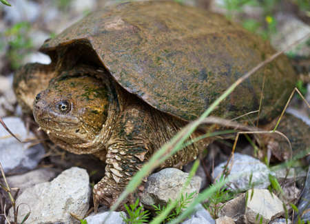snapping turtle: Common Snapping Turtle (Chelydra Serpentina) on land
