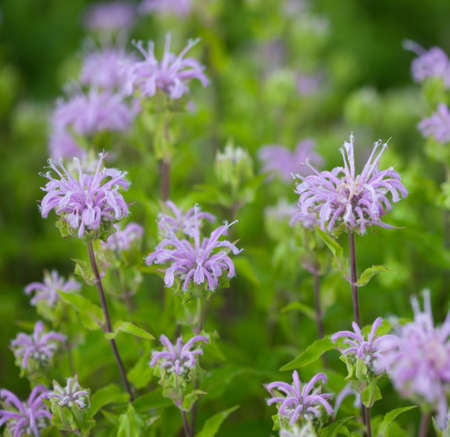 Group of Wild Bergamot (Monarda fistulosa) flowers 版權商用圖片
