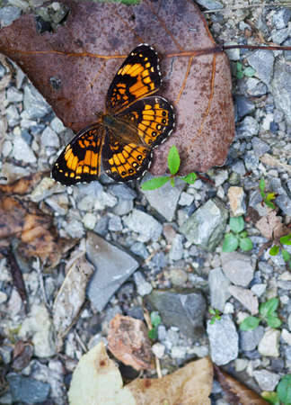 Silvery Checkerspot Butterfly (Chlosyne nycteis) with open wings