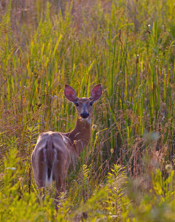 virginianus: White-tailed Deer (Odocoileus virginianus) watching from a field Stock Photo