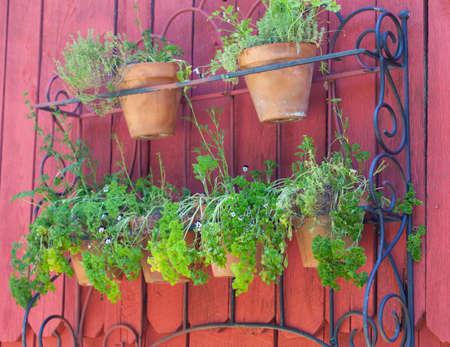 jardineras: Las filas de macetas llenas de varias hierbas