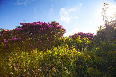 Rhododendrons at Carvers Gap, Roan Mountain State Park photo