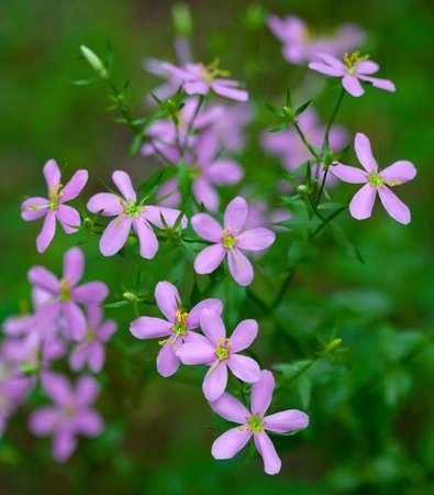 angularis: Rosepink Flowers (Sabatia angularis) in summer field Stock Photo