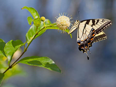 nectaring: Eastern Tiger Swallowtail butterfly (Papilio glaucus) on Buttonbush