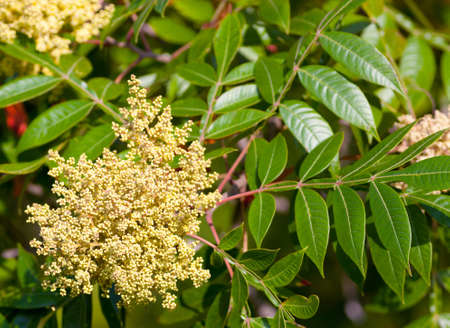 cashew tree: Winged Sumac bush (Rhus copallina) in bloom
