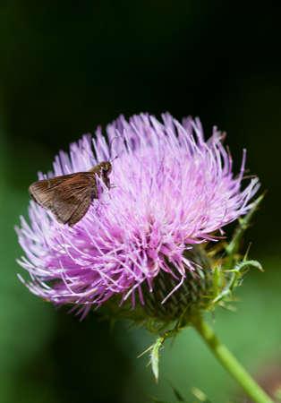 skipper: Clouded Skipper (Lerema accius) on thistle flower Stock Photo