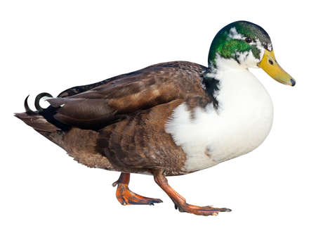 Bibbed Domestic Mallard  Anas platyrhynchos  with a clipping path photo