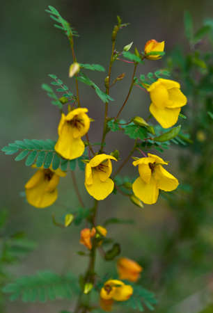 Fabaceae: Partridge Pea  Chamaecrista fasciculata  blooming in autumn Stock Photo