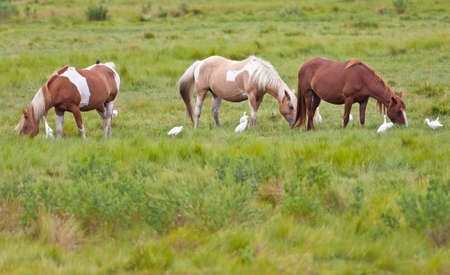 roan: Chincoteague Ponies with Cattle Egrets on Assateague Island