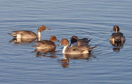 chica: Group of Northern Pintail Ducks (Anas acuta)
