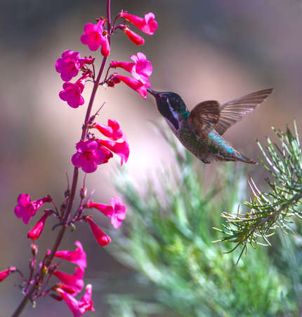 nectaring: Male Costa's Hummingbird (Calypte costae) nectaring on Penstemon Stock Photo