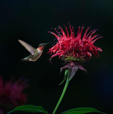 pajaros: Hombres Ruby-throated Hummingbird (Archilochus colubris) en b�lsamo de abeja Foto de archivo