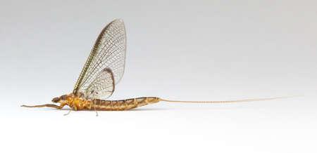 may fly: Common Burrower Mayfly (Ephemeridae) on a white background Stock Photo