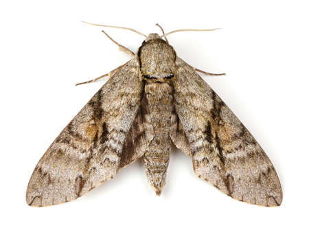 Ash Sphinx Moth Manduca jasminearum on a white background