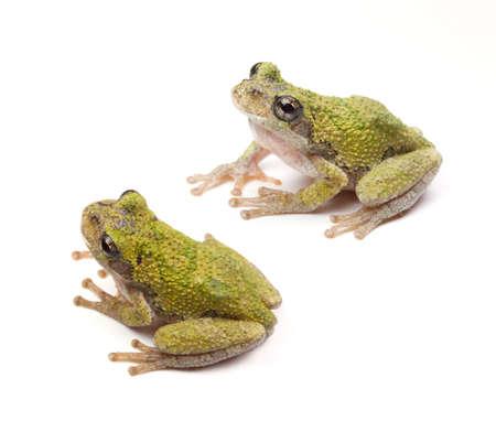 hyla: Two Copes Gray Tree Frogs Hyla chrysoscelis on a white background