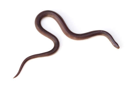 s curve: Eastern Wormsnake Carphophis amoenus on a white background