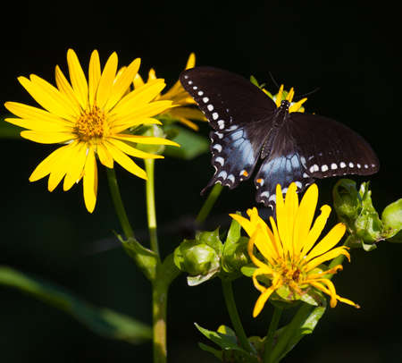 nectaring: Spicebush Swallowtail (Papilio troilus) nectaring on yellow flowers Stock Photo