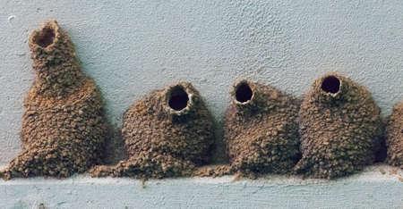 Cliff Swallow (petrochelidon pyrrhonota) nesten onder een brug