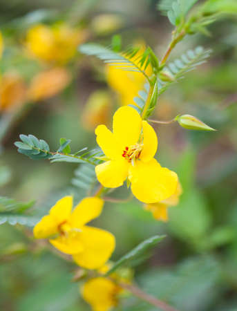 Fabaceae: Partridge Pea Flower (Chamaecrista fasciculata) growing in a field